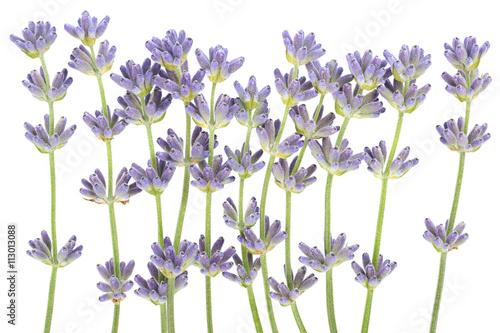Fototapeta Lavender plant blossom obraz na płótnie