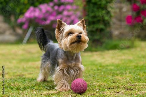 Obraz Cute small playful yorkshire terrier - fototapety do salonu