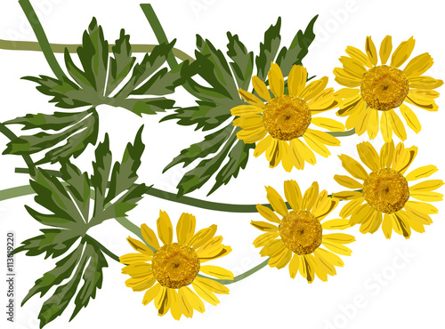 Valokuvatapetti group of coltsfoot flowers illustration