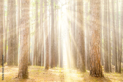 Pine Forest with Rays of Sun Beams