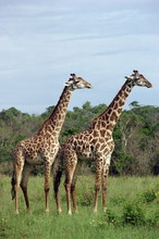 Masai Giraffe, Shimba, Kenya
