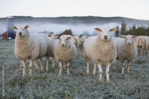 Sheep standing on a grassy field