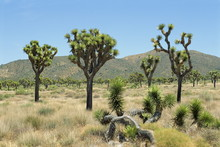 Joshua Tree National Monument, California