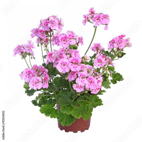 Géranium zonal rose