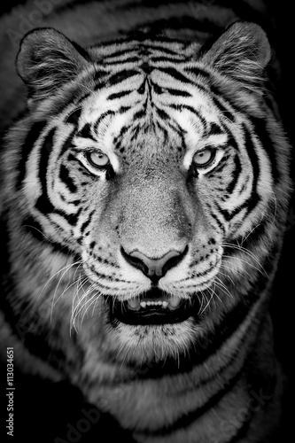 Photo sur Toile Tigre Portrait de tigre