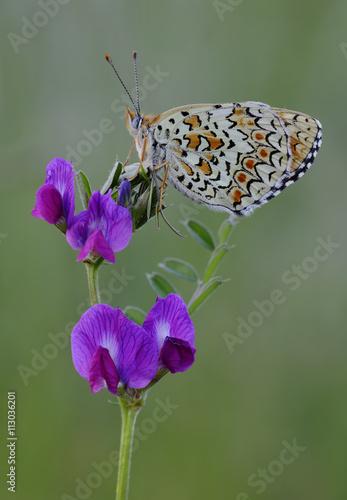 obraz dibond Mariposa sobre una flor en primavera