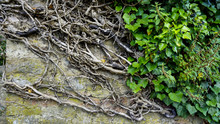 Texture Thorns On Old Wall