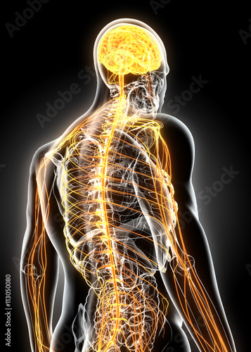 Fotografía  3D illustration male nervous system.