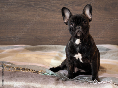 Tuinposter Franse bulldog Portrait of a thoroughbred dog - a French bulldog. Dog sitting on a bed. Background wooden board. black Dog