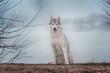 Portrait of a close-up dog Siberian Husky