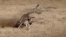 Namibia.  Cheetah Running At T...