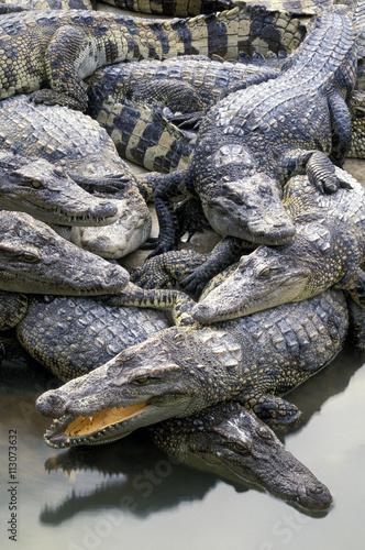 Asia, Thailand. Crocodiles (Crocodilius-porosus)