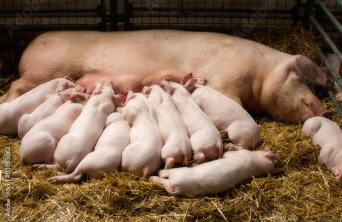 Fotografie, Obraz  Sow with piglets nursing