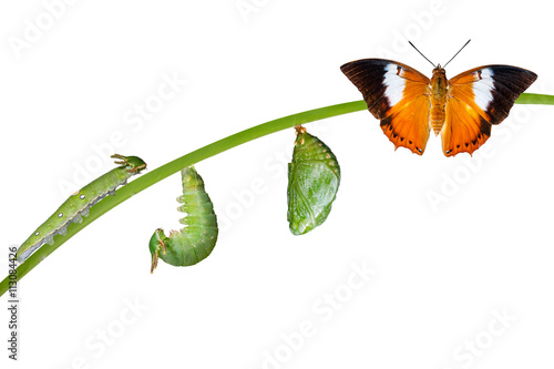 Isolated life cycle of Tawny Rajah butterfly on white Canvas Print