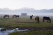 Horses in Phobjikha Valley, Bhutan, Asia