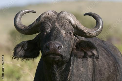 Poster Buffel Cape buffalo (Syncerus caffer), Masai Mara National Reserve, Kenya, East Africa, Africa