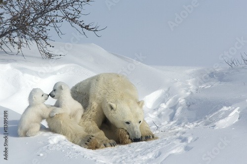 Polar bear mother with twin cubs, Manitoba, Canada