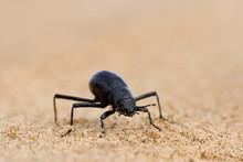 Tenebrionid Beetle (Onymacris ...