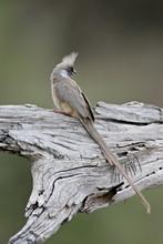 Speckled Mousebird (Colius Striatus), Masai Mara National Reserve, Kenya