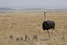 Common Ostrich (Struthio Camelus) Male Watching Chicks, Masai Mara National Reserve, Kenya