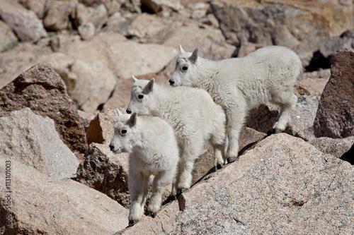 Three mountain goat (Oreamnos americanus) kids, Mount Evans, Colorado, United States of America, North America