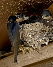 Barn Swallow (Hirundo Rustica) Parent Feeding A Chick, Custer State Park, South Dakota