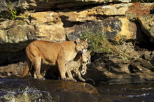 Captive Mountain Lion Mother And Two Cubs (cougar) (Felis Concolor) Standing On A Rock In A River, Sandstone, Minnesota