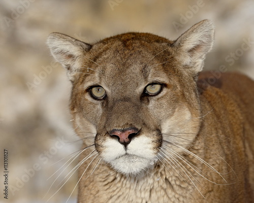 Mountain Lion (Cougar) (Felis concolor) in captivity, near Bozeman, Montana, United States of America, North America