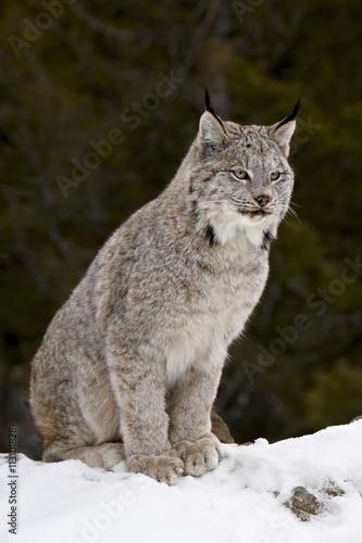 Canadian Lynx in snow, Montana, USA