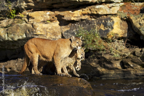 Captive mountain lion mother and two cubs (cougar) (Felis concolor) standing on a rock in a river, Sandstone, Minnesota, United States of America, North America