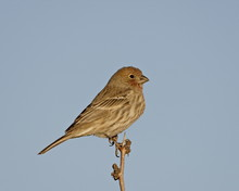 House Finch (Carpodacus Mexicanus), City Of Rocks State Park, New Mexico
