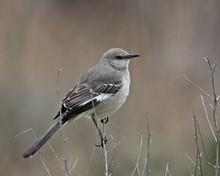 Northern Mockingbird (Mimus Polyglottos), San Jacinto Wildlife Area, California