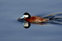 Male Ruddy Duck (Oxyura Jamaicensis) Swimming, Sweetwater Wetlands, Tucson, Arizona