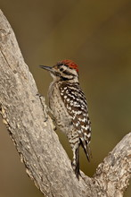 Male Ladder-backed Woodpecker (Picoides Scalaris), The Pond, Amado, Arizona