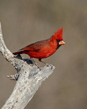 Male Northern Cardinal (Cardin...