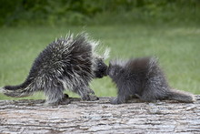 Porcupine (Erethizon Dorsatum) Mother And Baby, In Captivity, Sandstone, Minnesota