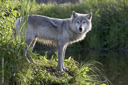 Gray wolf (Canis lupus) in captivity, Sandstone, Minnesota, United States of America, North America
