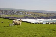 New-born Lamb And Sheep On Pasture In Spring Sunshine, Pentire Headland, Polzeath, North Cornwall