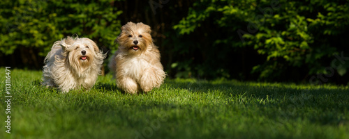 Two happy havanese dog is running towards the camera in the gras