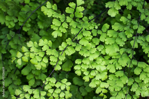 maidenhair fern leaves