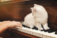 Chaton Beige Européen Sur Piano Avec Fillette Jouant
