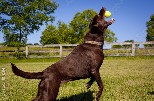 Energetic Chocolate Labrador Retriever In Mid Leapside View
