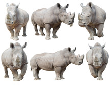White Rhinoceros, Square-lippe...