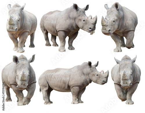 Poster Neushoorn white rhinoceros, square-lipped rhinoceros isolated
