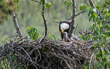 Bald Eagle Feeding Its Chick