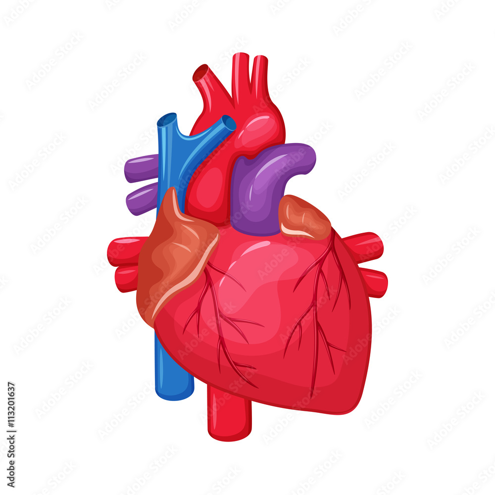 Human Heart Anatomy Foto Poster Wandbilder Bei Europosters