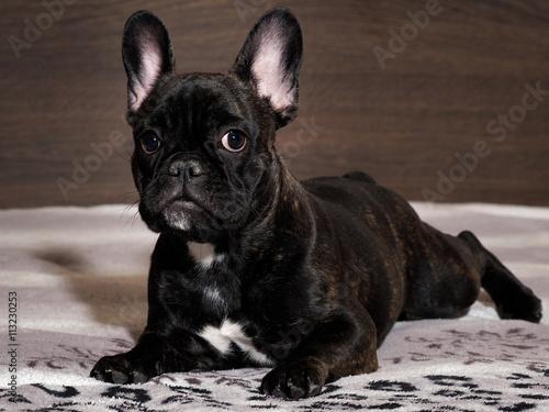 Foto op Plexiglas Franse bulldog Dog lying on the bed. A close look. Black dog, purebred puppy. French Bulldog