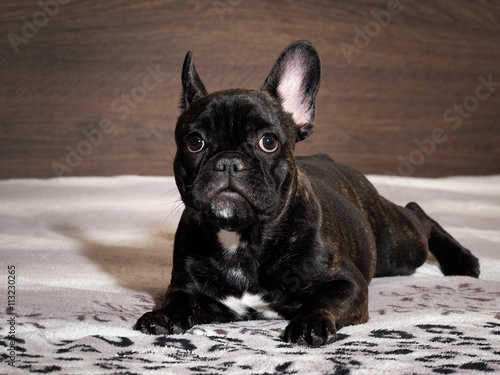 Tuinposter Franse bulldog Dog lying on the bed. A close look. Black dog, purebred puppy. French Bulldog
