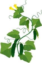 Cucumbers Growing On Vines
