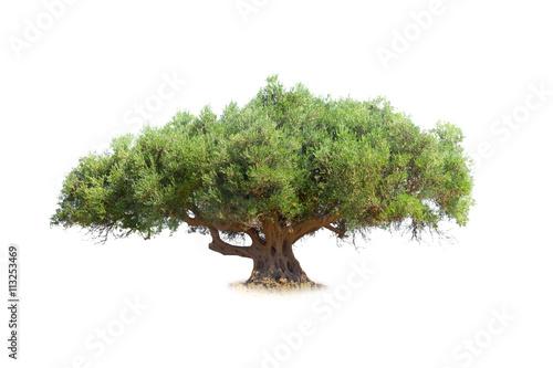 Foto op Aluminium Olijfboom Olive tree